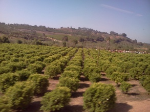 From the train: Citrus trees!
