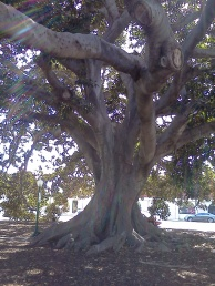Moreton Bay Fig - Australian - Planted in Ventura 1874